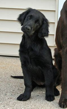 dogs that look like golden retrievers 1000 ideas about flat coated retriever on curly coated retriever field