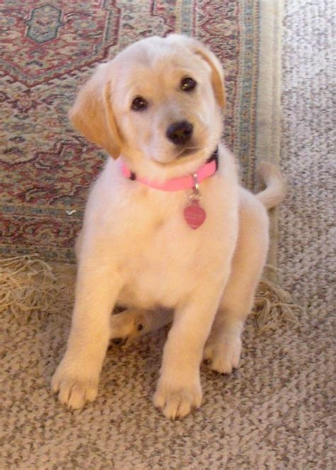 lab mix puppies for sale in michigan 2017 interesting golden retriever yellow lab mix puppies for sale for adoption