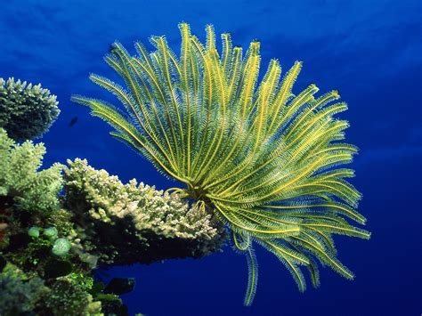 the coral sea crinoid coral sea hd wallpaper nature wallpapers