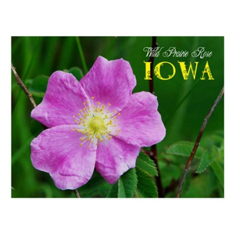state flower of iowa iowa state flower wild prairie rose postcard zazzle com