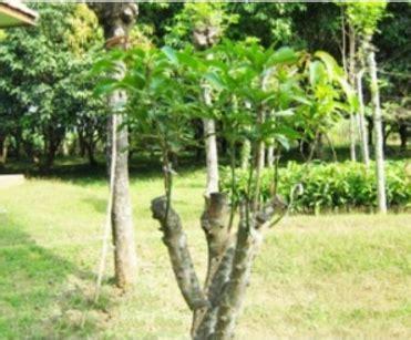 mudah membuat pohon  tak kunjung berbuah mampu