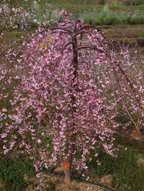 small pink tree 25 best ideas about weeping cherry tree on