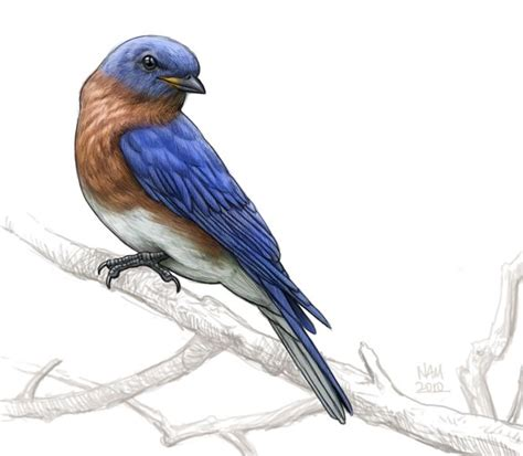 blue bird illustration google search an appreciation