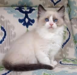 ragdoll colors ragdoll cats in many colors and patterns jamila s ragdolls