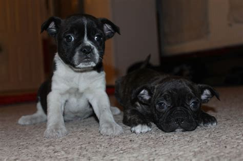 boston terrier cross pug boston terrier cross pug puppies for sale woking surrey pets4homes