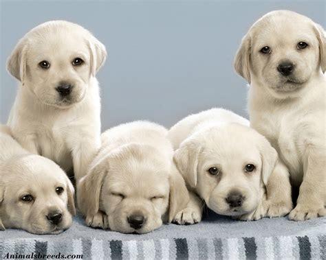labrador retriever puppies information labrador retriever puppies rescue pictures information temperament
