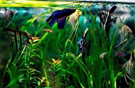 Make your Betta happy   A Practical Fishkeeping Blog