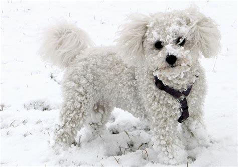 Small That Doesn T Shed by Small Dogs That Don T Shed Bichon Frise Breeds Picture