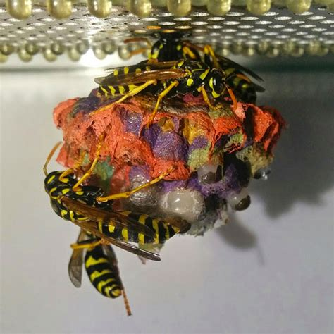 How To Make Paper Wasps - when wasps are given colored paper they build rainbow