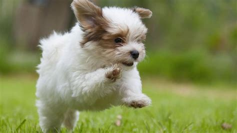 havanese cost puppy how much does it cost to rescue a havanese puppy reference