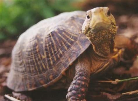 imagenes de tortugas raras la desparasitaci 243 n en las tortugas