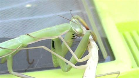 casi di cannibalismo cannibalismo tra mantidi praying mantis cannibalism