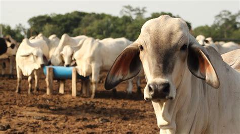 imagenes mamonas de vacas beneficios de las sales mineralizadas para la