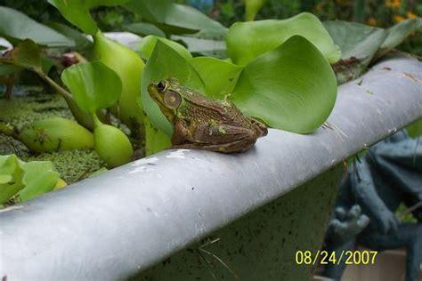 frogs in my backyard frog in my backyard pond caudata org