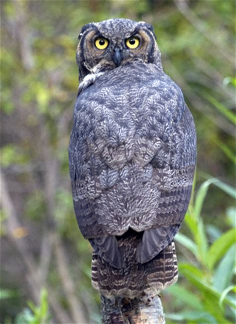 great horned owl sound