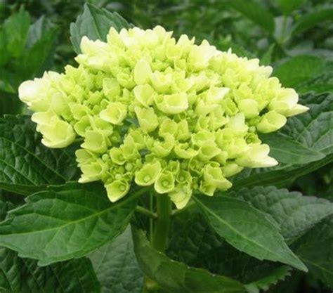 Unique Flower Vase Online Wholesale Bulk Cut Mini Green Hydrangea