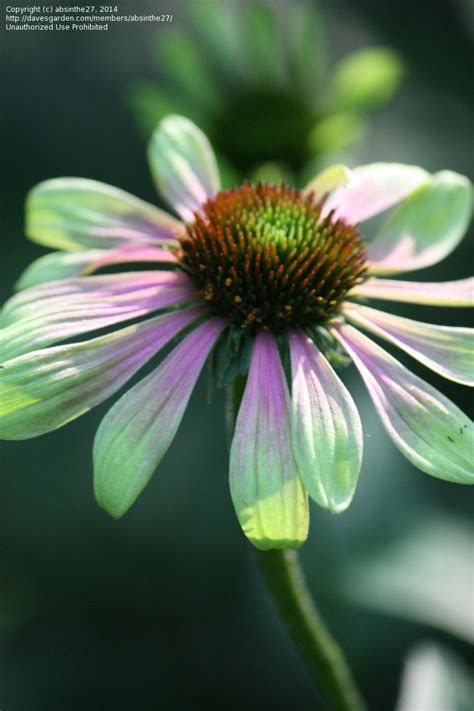 plantfiles pictures echinacea green coneflower green envy echinacea purpurea by 33libra