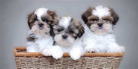 shih tzu puppies information shih tzu information characteristics facts names