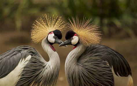 wallpaper crowned crane bird  animals