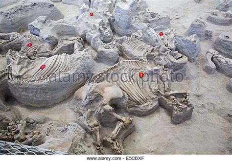 ashfall fossil beds fossils fossil usa stock photos fossils fossil usa stock