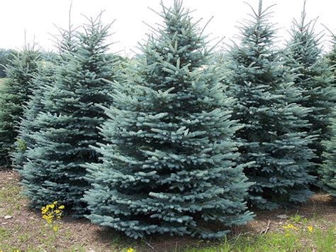 trees in colorado springs colorado trees for sale the tree center