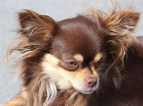 hair chihuahua puppy how to groom haired chihuahua properly our dogs and us