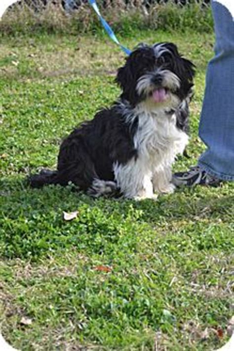havanese lhasa apso mix up havanese lhasa apso on lhasa apso adoption and pictures
