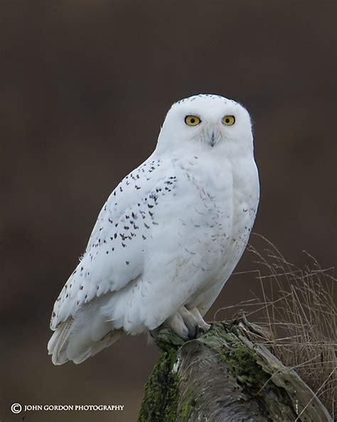 amazoncom snowy owl gordon listening to birds snowy owls on their terms