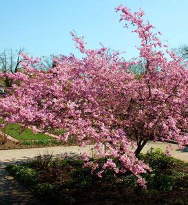 cherry tree zone 4 i m a sucker for flowering trees sargent cherry zones 4 7 p s guard imature ones from