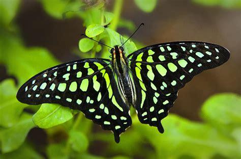 84 Shower Curtain Tailed Jay Butterfly Photograph By Saija Lehtonen