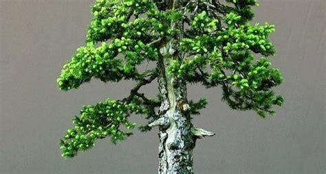 bonsai da interno elenco stili bonsai bonsai vari stili di bonsai