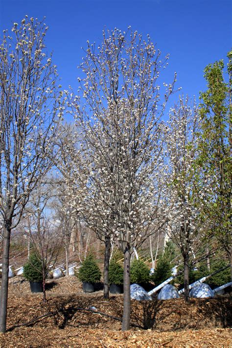 buy tree pear chanticleer flowering creekside tree nursery