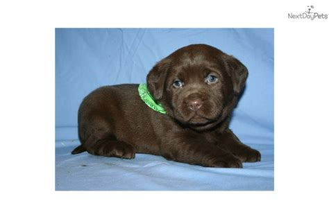 lab puppies for sale in indiana labrador retriever puppy for sale near lafayette west lafayette indiana 855a7f07 a481