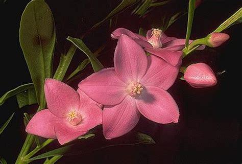 crowea fiori australiani crowea repertorio australiano bush fiori per l anima