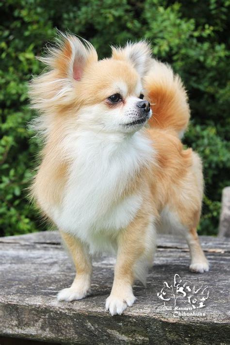 long hair chihuahua hair growth what to expect 1000 ideas about long hair chihuahua on pinterest long
