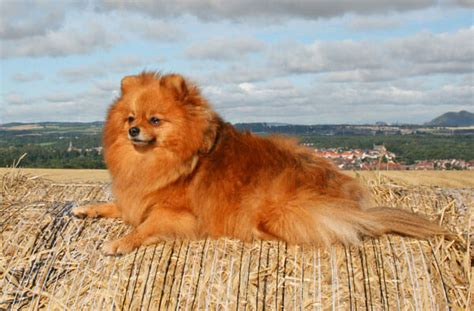 pomeranian breeders vancouver brindle with blue breeds picture