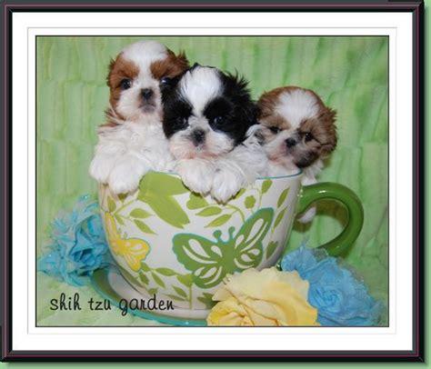 shih tzu garden syrah s past puppies