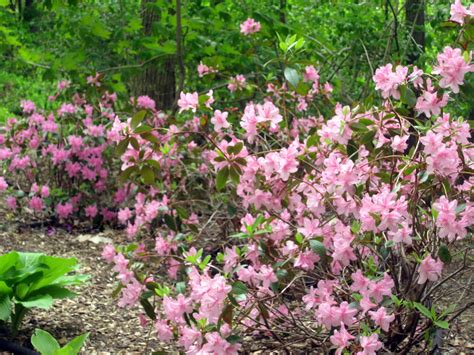 Flowering Garden Shrubs From Patch To Woodland Garden