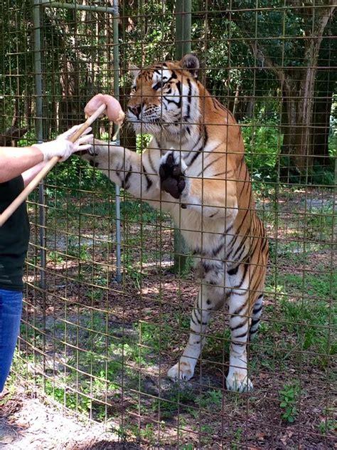 big rescue project big cat rescue community service project 2015