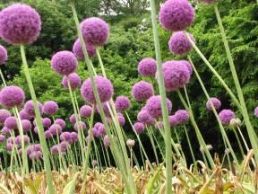 allium alliaceae