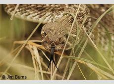 Western Diamond-backed Rattlesnake Western Diamondback Rattlesnake Head