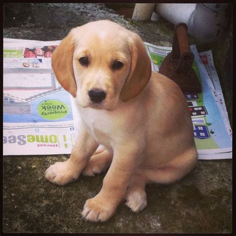 spanador puppies 17 best images about on trees trees and cocker spaniel