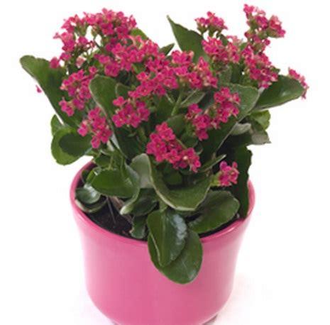 Kalanchoe Kuning 1 tanaman kalanchoe pink jual tanaman hias
