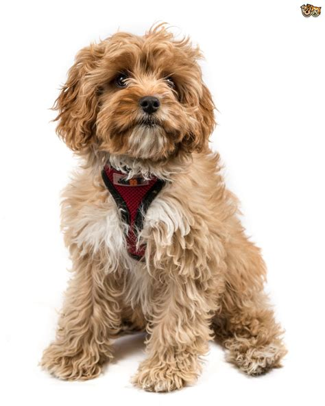 hybrid dogs the top 5 most popular cross breed or hybrid breeds in the uk 2015 pets4homes