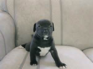 shar pei pug puppies for sale shar pei mix puppies for sale