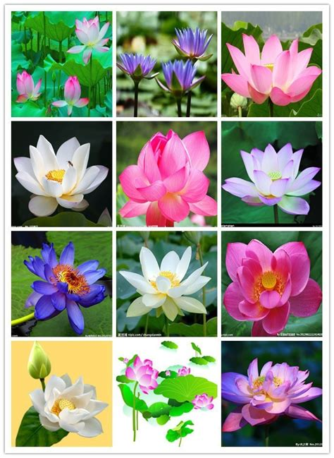 lotus colors popular lotus flower plants buy cheap lotus flower plants
