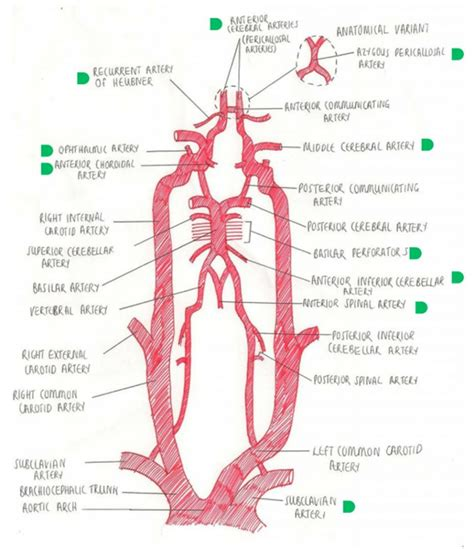 diagram of carotid artery external carotid anatomy human anatomy diagram