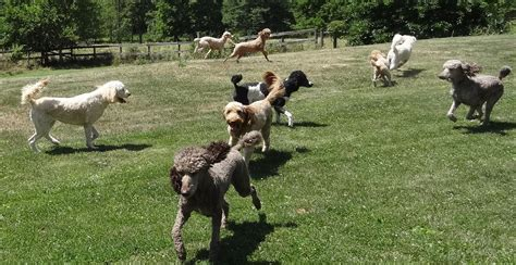 puppies pittsburgh pa standard poodle puppies pittsburgh pa dogs in our photo