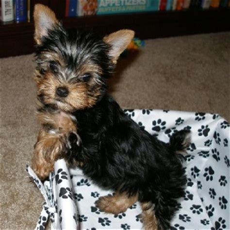 a baby yorkie 17 best images about yorkies or what on yorkies eleanor rigby