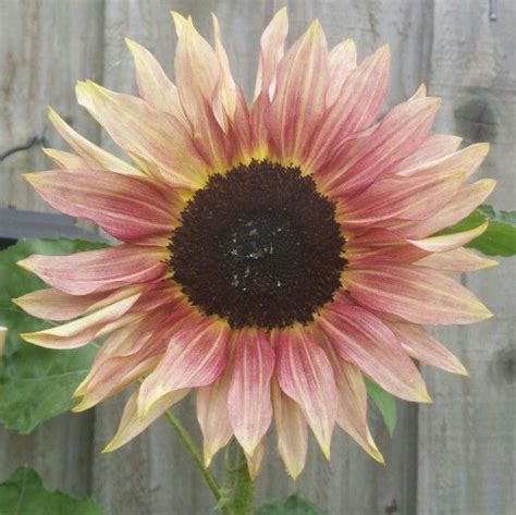 pink sunflowers images search pale pink sunflower gardening pink